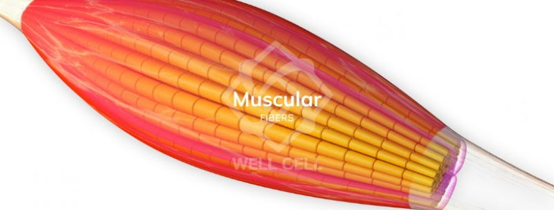 What is a Muscle Tear